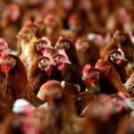 ЕС и ряд стран Азии приостановили импорт птицы из Украины