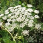 В Черновцах создадут карты распространения опасного растения