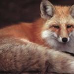 Такая ласковая лисичка…